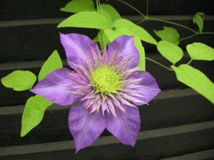 Dans blomst